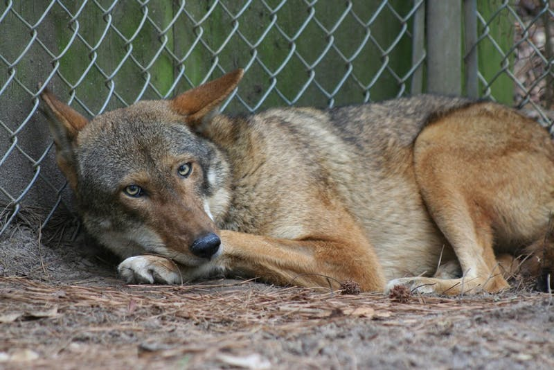 A female red wolf from St. Vincent rests before being released at Alligator River on the Atlantic Coast. Only 40 red wolves remain in the world, all in North Carolina. Photo courtesy of Olivia Slagle.