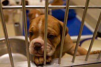 Puppies play in their pen at the Orange County Animal Services building on Tuesday, Jan. 14, 2020. OCAS recently took in about 60 dogs and created a GoFundMe to help fund their medical expenses.