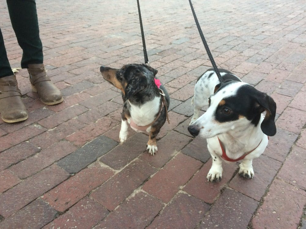 Meet two dachshund siblings who are owned by a Chapel Hill resident