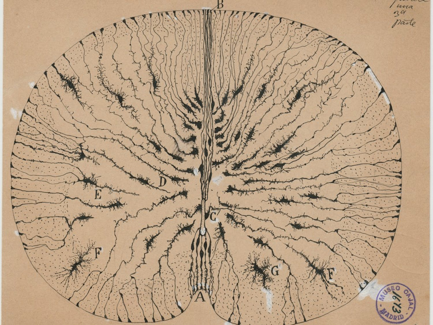 This is one of the 3,000 drawings of the brain that Santiago Ramón y Cajal drew in his lifetime. It is one of the 80 displayed in the Ackland's The Beautiful Brain: The Drawings of Santiago Ramón y Cajal exhibit.  Photo contributed by The Ackland Art Museum