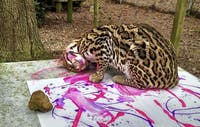 Petee Ocelot paints with purple and pink egg-based tempera at Carolina Tiger Rescue in Pittsboro. (Courtesy of Carolina Tiger Rescue)