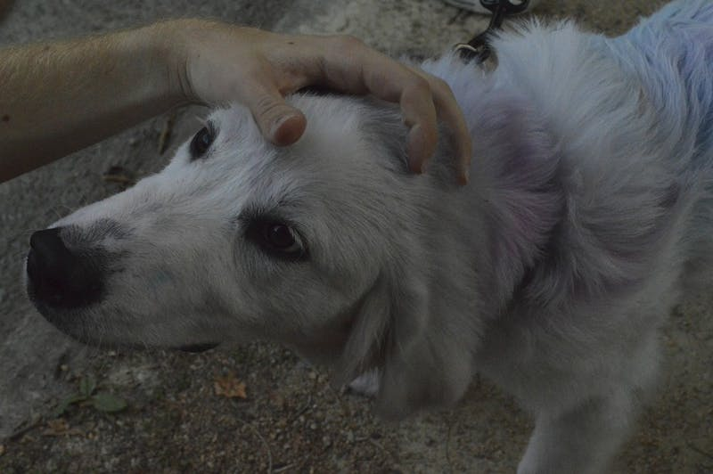 A dog was dyed with colorful chalk during the Bid Day celebrations Wednesday evening.