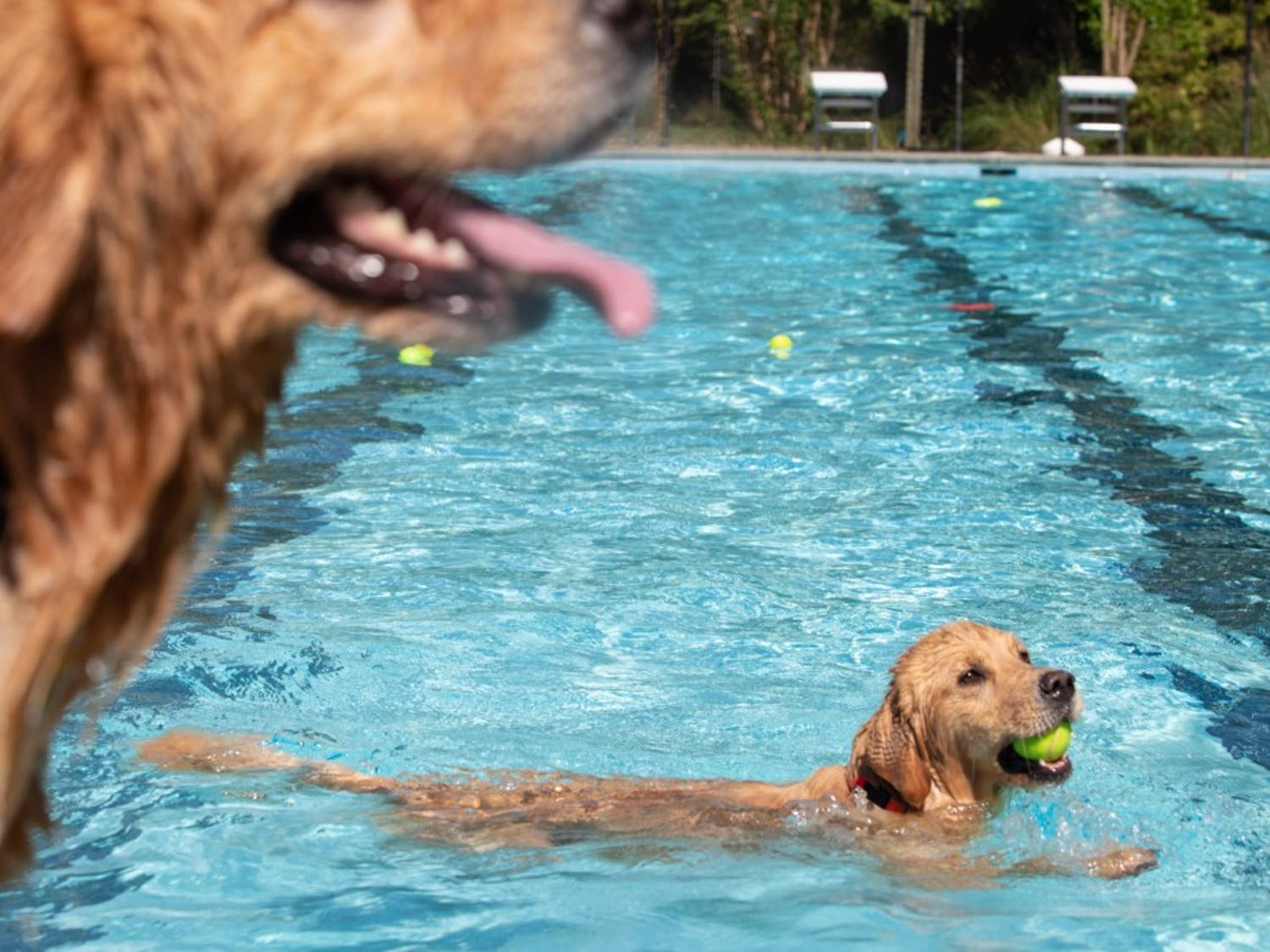 Orange County's 15th Annual Dog Swim at Heritage Hills Pool in Chapel Hill, NC on Sunday Sept. 22, 2019.