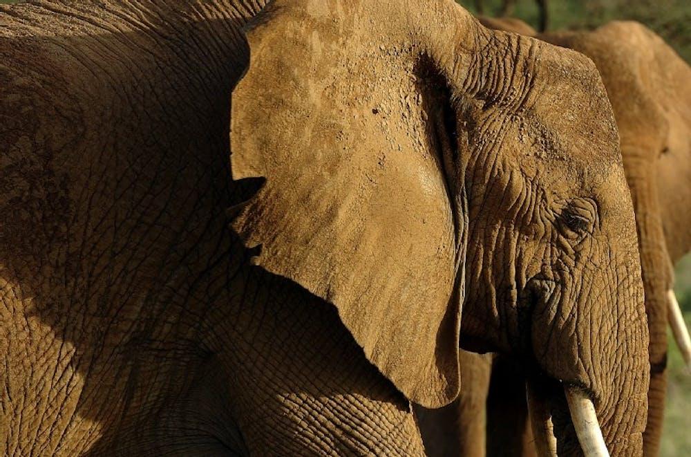 Elephants in danger of extinction
