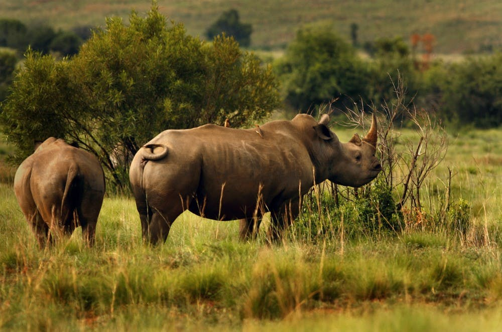 Rhino species extinct due to African rangers selling out