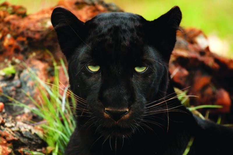 """Black Panther"" is both an action movie and a hope for a new trend in Hollywood. (Photograph provided by Wikimedia)"