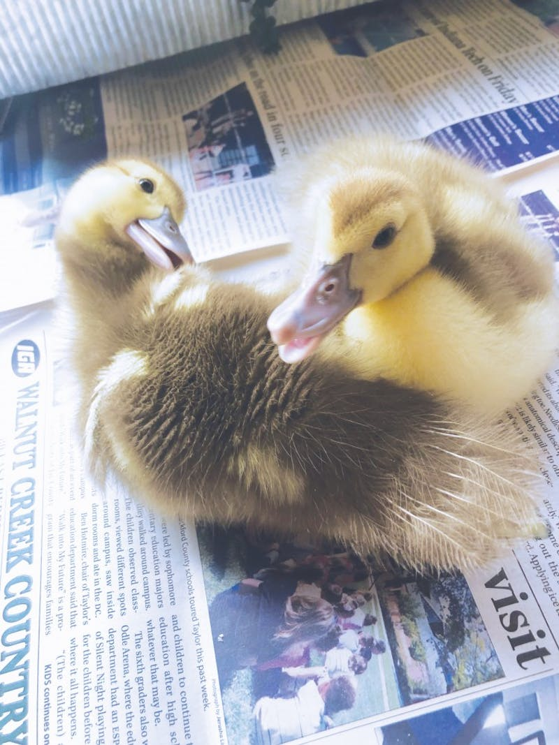 The Sammy II ducks were rescued and found a home with Jesse Brown.