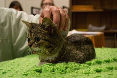Feline celebrity Lil Bub meets with her fans Oct. 26, 2012, in the Bloomington Animal Care and Control shelter. Mike Bridavsky announced the death of his Internet-famous cat on social media Monday.