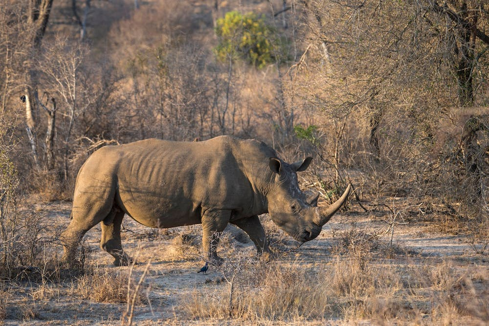 """<p>A white rhino in South Africa&#x27;s Kruger National Park on August 20, 2018. The last male northern white rhino died March 19, 2018. <a href=""""https://www.nationalgeographic.com/animals/article/northern-white-rhino-male-sudan-death-extinction-spd"""" target=""""""""></a><br/><br/></p>"""