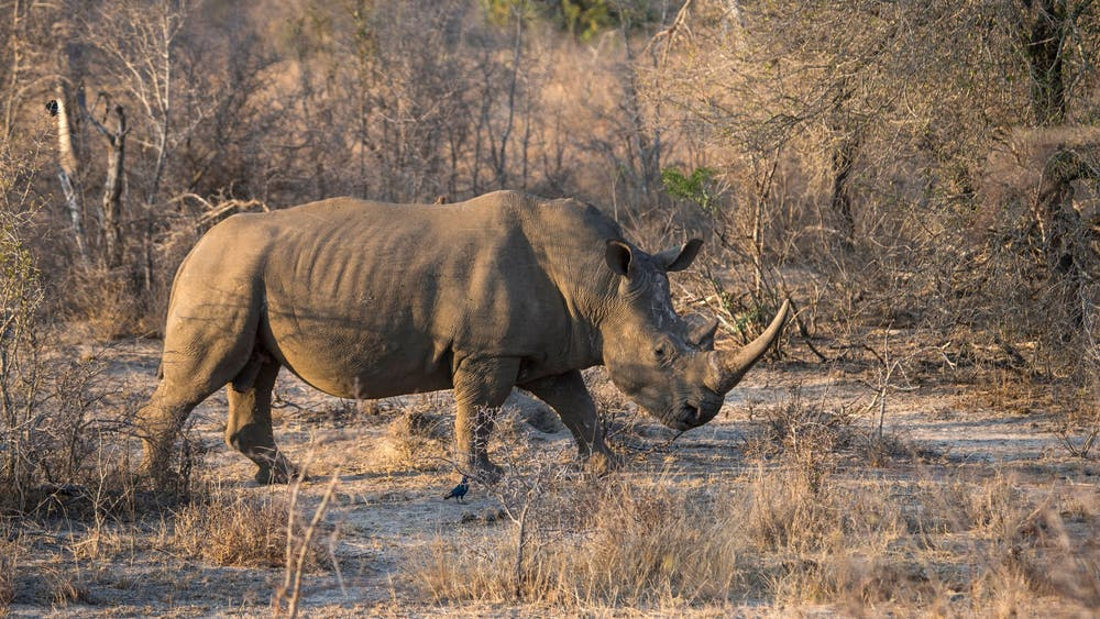 A white rhino in South Africa's Kruger National Park on August 20, 2018. The last male northern white rhino died March 19, 2018.