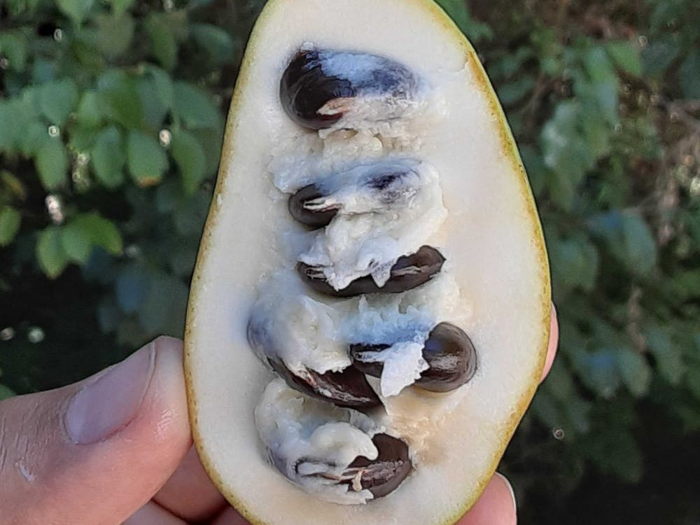 Pawpaws are one of the largest native fruits to Indiana, oblong and green on the outside, ivory or yellow on the inside, with big, black seeds. They're often used like bananas, in banana bread or even ice cream.