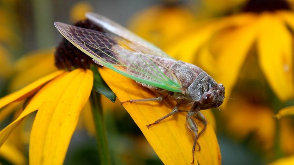 A cicada from Brood XIX appears in August 2011. Some of the cicadas that have emerged are infected with a fungus, according to an IU professor of biology.