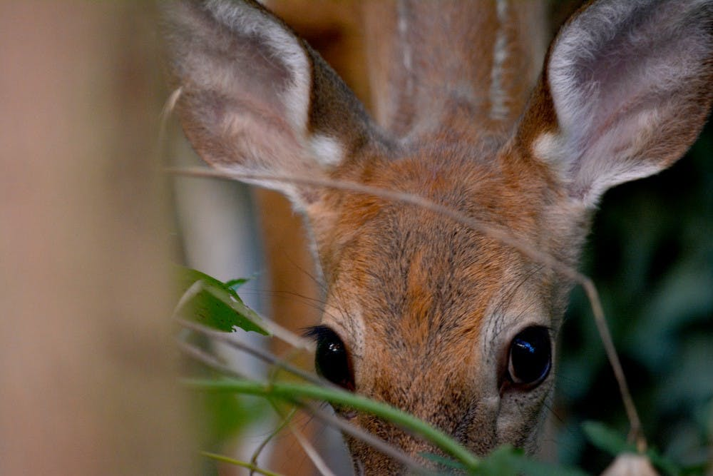 <p>A deer crouches low in the brush near a house in downtown Bloomington. White-tailed deer have overpopulated the Griffy Lake Nature Preserve for years, damaging forest ecology by feeding on plants.</p>