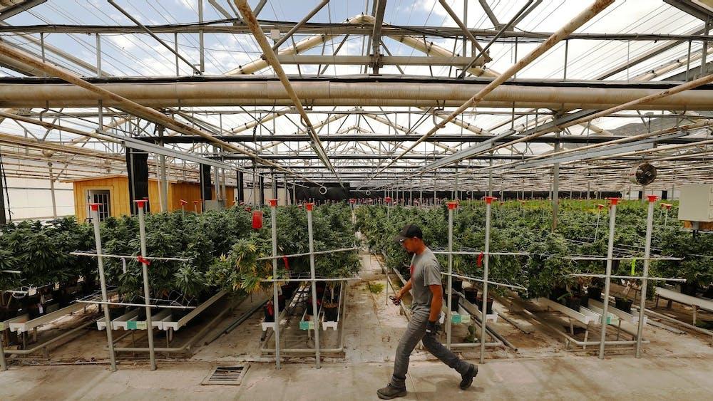 A worker tends marijuana plants in Santa Barbara County, California.