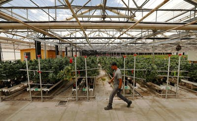 A worker tends marijuana plants in Santa Barbara County, California.