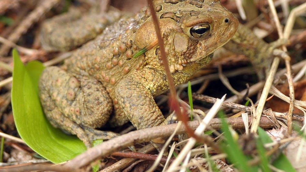 An American toad blends into the forest floor at the Crocker Conservation area. In April, Gov. Eric Holcomb removed state protections for over 50% of wetlands in Indiana when he signed Senate Enrolled Act 389 into law.