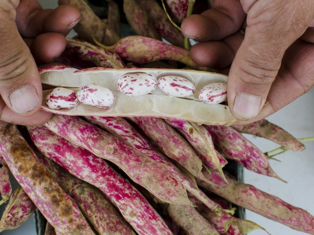 Mark Stoll shows the inside of a cranberry bean grown at the local Gypsy Ridge Farms during the Bloomington Community Farmer's Market. Local farmers are trying to crack the IU market with their products.