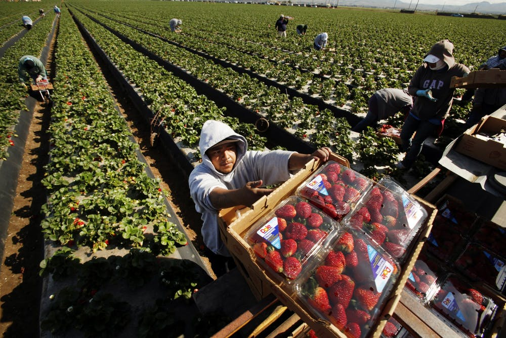<p>Domingo Suarez carries a box of strawberries picked for Dole Foods on April 2, 2013, as he works alongside other workers in a Santa Maria, California, field. </p>