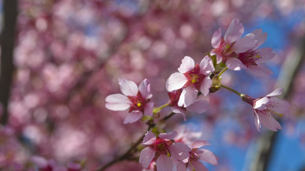 A flower on a pink cherry blossom tree blossoms March 29 in Columbus, Ohio.