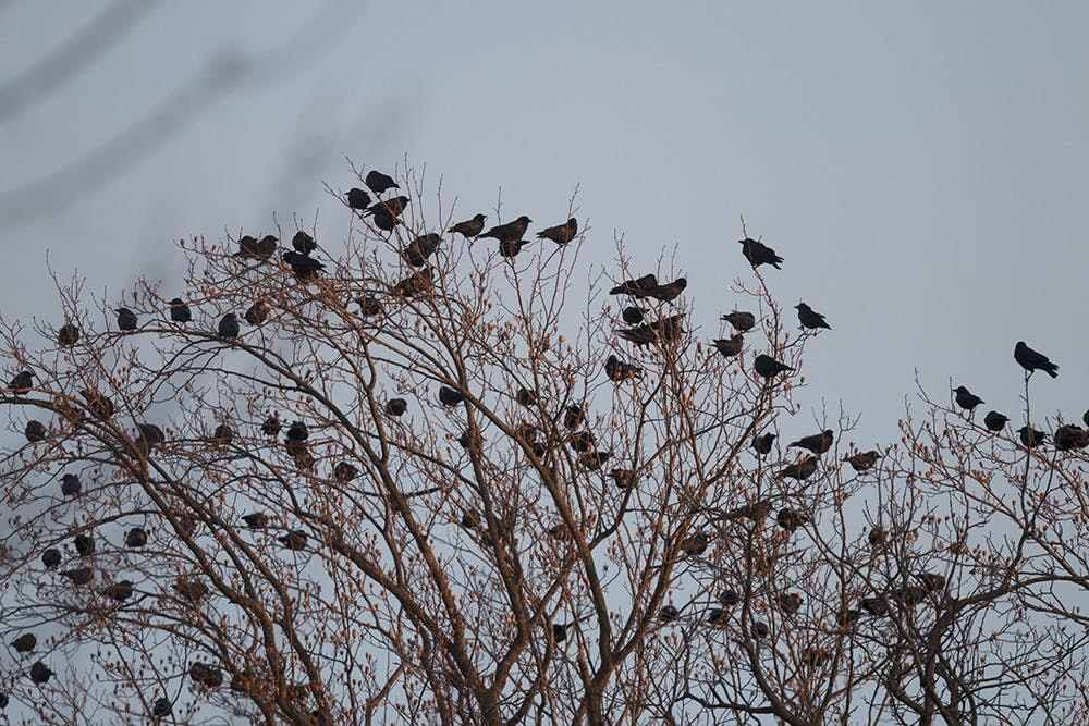 Thousands of crows descended upon Bloomington this winter and are here to stay until brooding season ends in March.