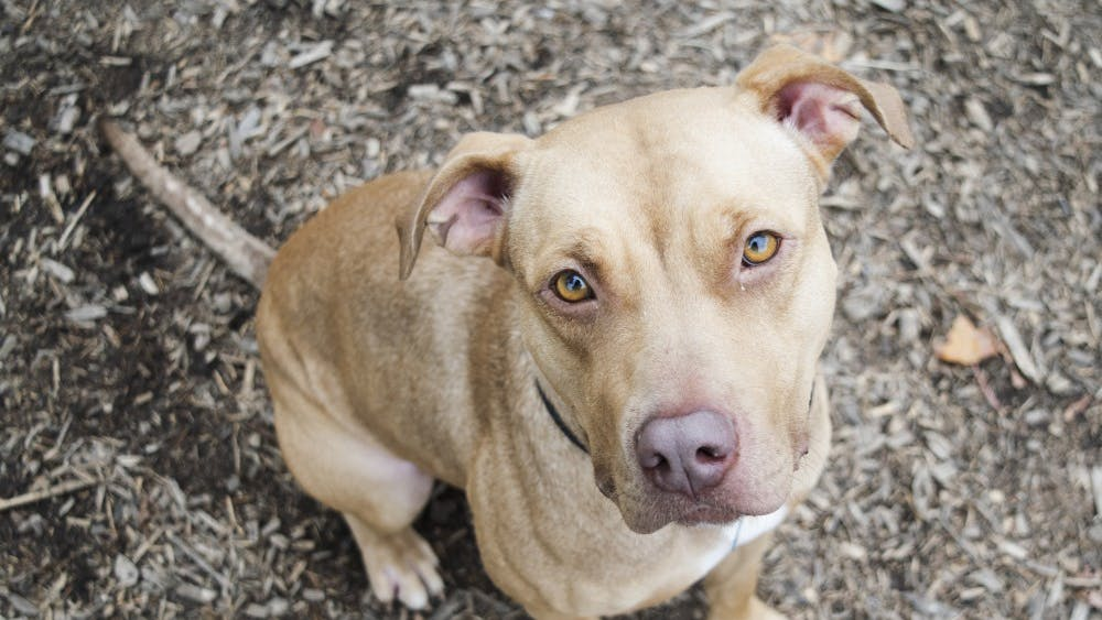 Dolly, a two-year-old pit bull, sits in the yard of the Bloomington Animal Shelter on Wednesday afternoon. People sometimes mistakenly think of pit bulls as being aggressive or having trouble with other dogs or kids, Animal Shelter Director Virgil Sauder said.