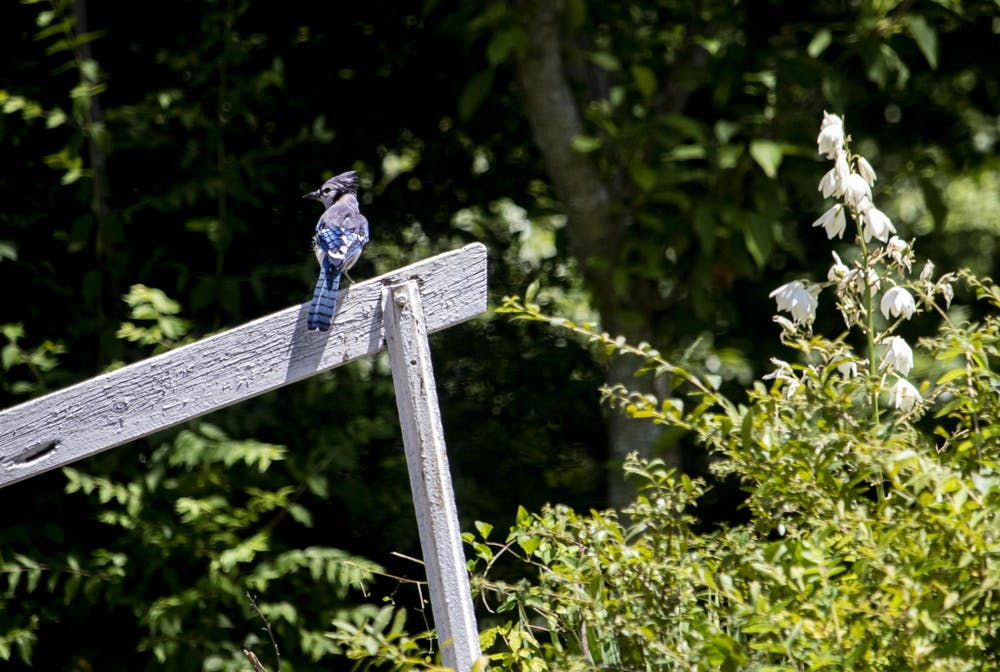 <p>A blue jay sits on a wooden handrail June 23 in the Eastside Neighborhood in Bloomington. Birds such as blue jays, cardinals and robins are common in Indiana.</p>