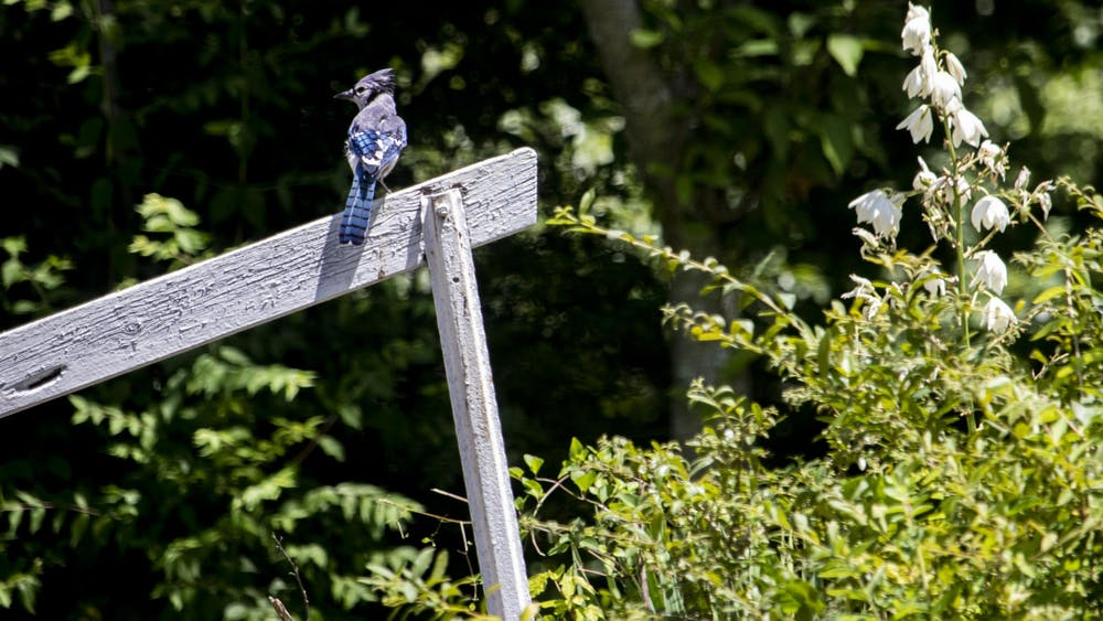 A blue jay sits on a wooden handrail June 23 in the Eastside Neighborhood in Bloomington. Birds such as blue jays, cardinals and robins are common in Indiana.