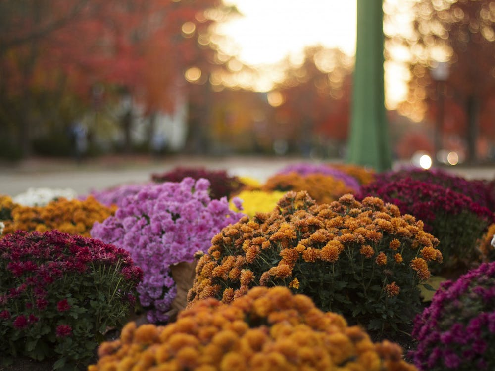 Mums fill the flower beds that surround Showalter Fountain.  Mums are planted throughout campus each fall.