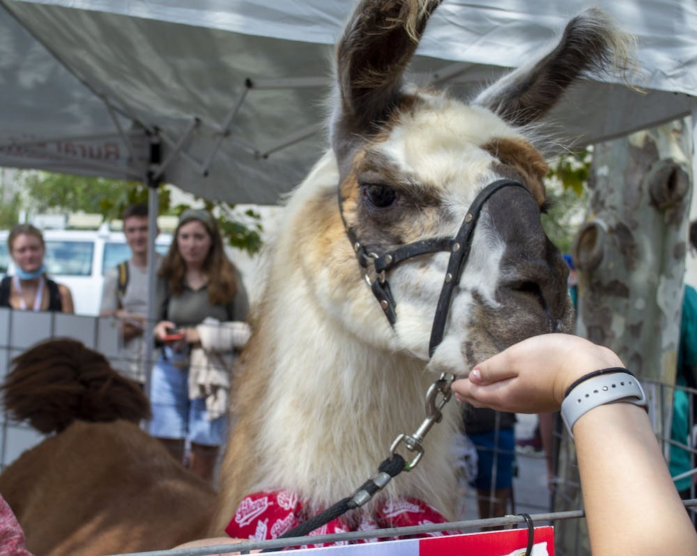 <p>Xanchoo the llama eats from a hand on  Sept. 14, 2021, outside of the IU Auditorium. Two llamas were on campus to promote the showing of &quot;Napoleon Dynamite&quot; on  Sept. 23, 2021.</p>