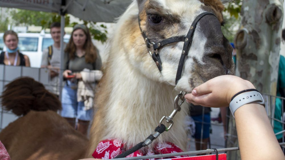 """Xanchoo the llama eats from a hand on  Sept. 14, 2021, outside of the IU Auditorium. Two llamas were on campus to promote the showing of """"Napoleon Dynamite"""" on  Sept. 23, 2021."""