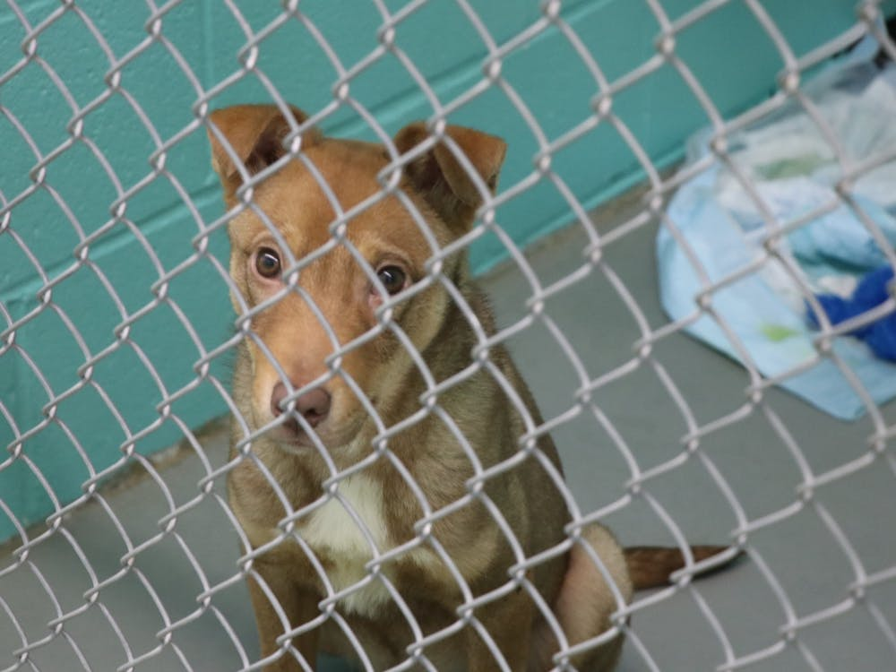 Eighteen-week-old Desperado sits in his cage Dec. 13 in the City of Bloomington Animal Shelter. The shelter lowered its dog adoption fees to $40 and lowered cat adoption fees to $20 from Dec. 8-24.