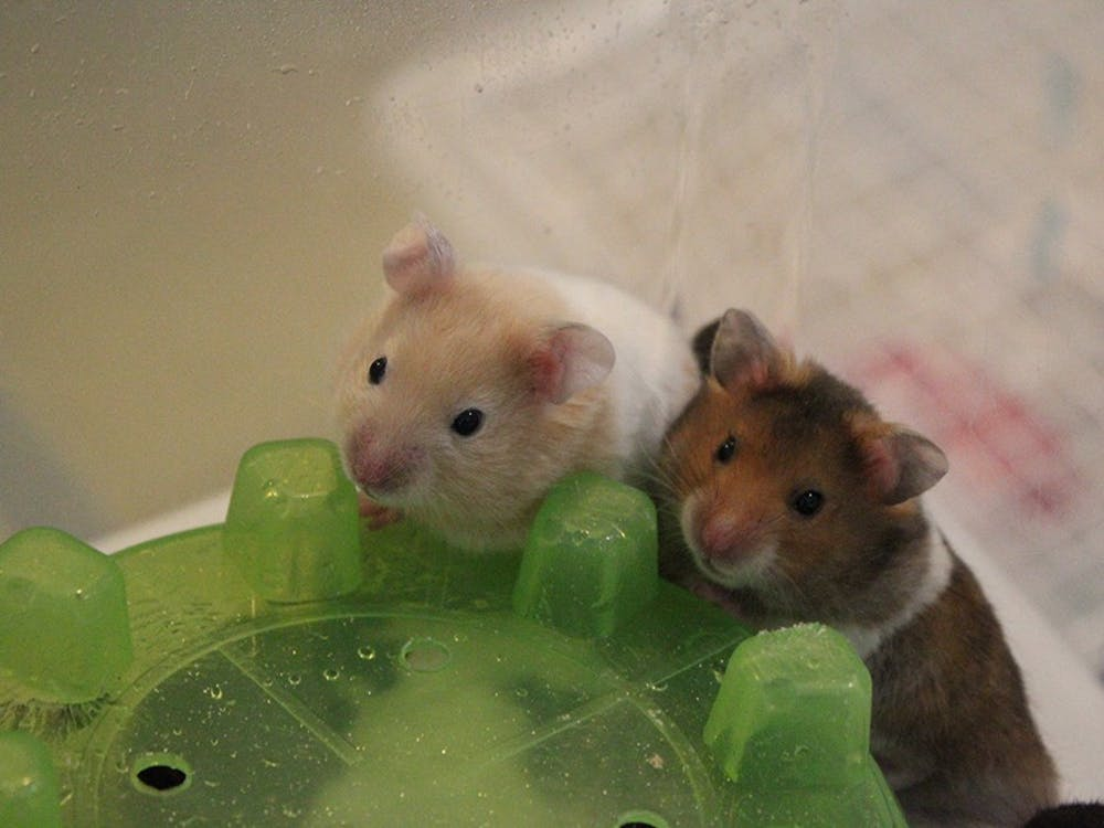 Two hamsters who were rescued by the Pipsqueakery from Flagler County, Florida, play in their cage June 7. The hamsters came from a group of more than 100.
