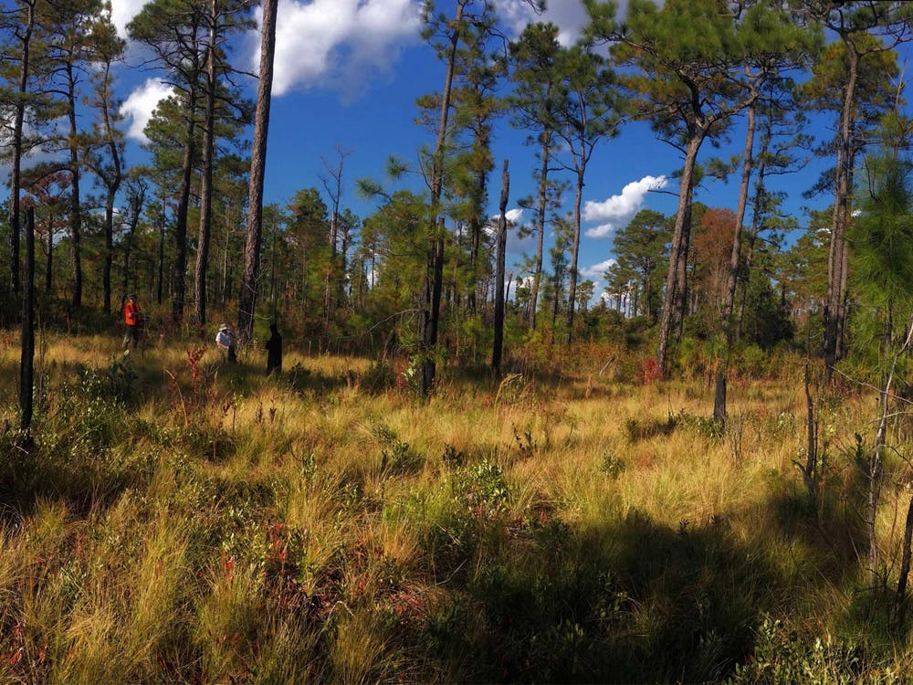 Researchers collect tree ring data in March 2017 in a field of longleaf pine trees in North Carolina. A team of IU researchers lead by IU geography professor Justin Maxwell recently published a study on tropical cyclone precipitation, which may aid disaster planning for coastal communities facing unprecedented rainfall from hurricanes.