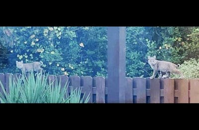 Bobcats stand on a fence. Over the past several weeks, Monroe County residents have posted on social media about seeing bobcats on or near their property.