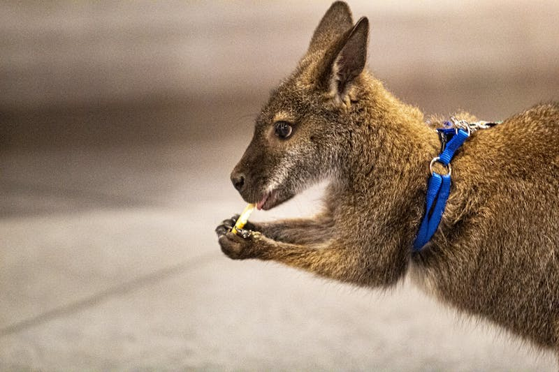 Gamie the wallaby eats a cracker March 10 in the FAR Center for Contemporary Arts building on Fourth Street. The event raised $1,075.27.