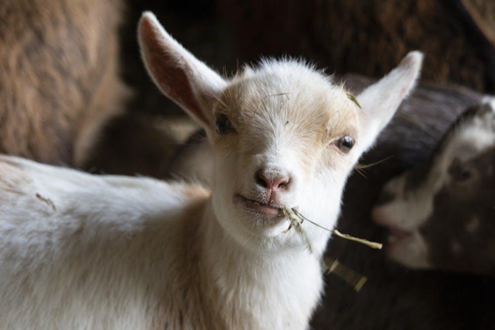 goat-10