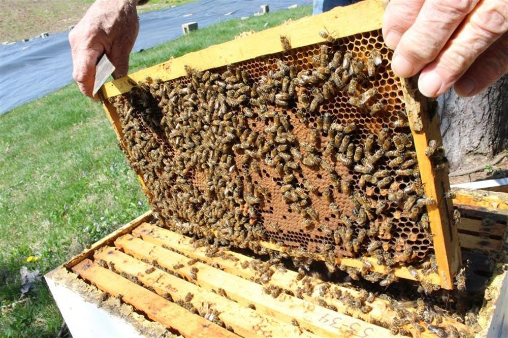 Retired IU biology professor carefully replaces one of the ten frames in his beehive at the Hilltop Garden.