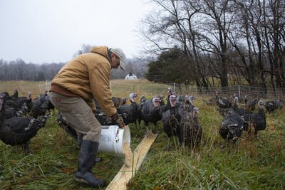 Larry Howard pours out feed for the turkeys as a part of his afternoon chores on the farm Nov. 15.
