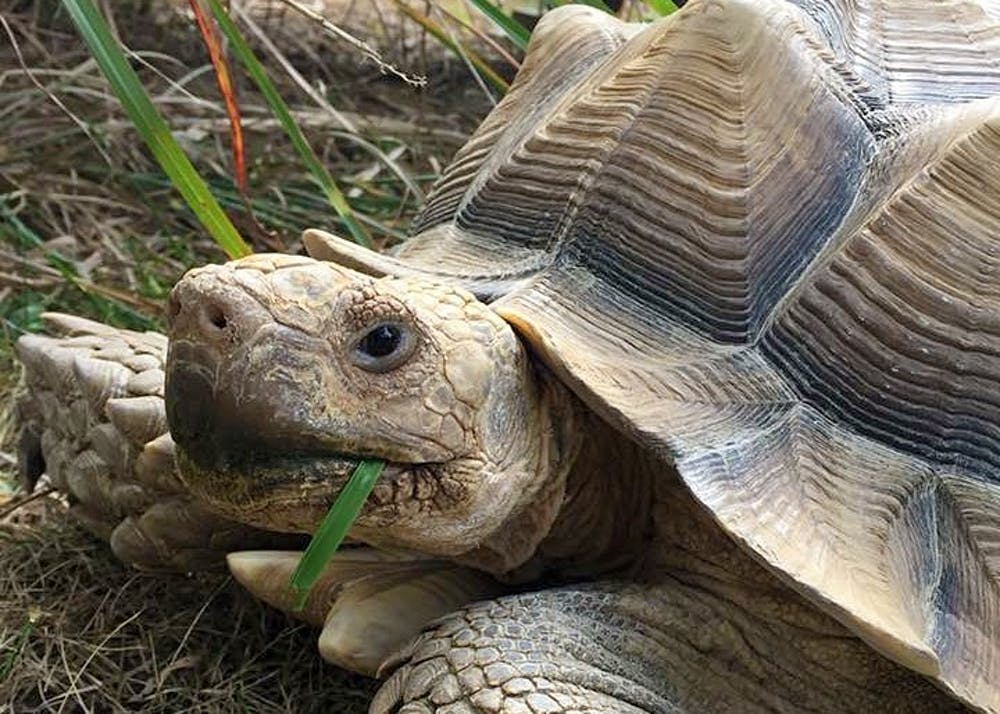 "<p>Merlin was a 65-pound, 16-year-old African sulcata tortoise. He loved being scratched on his neck and cheek and would shake his butt when his Tasha scratched his shell. He was a ""people-person"" tortoise.</p>"