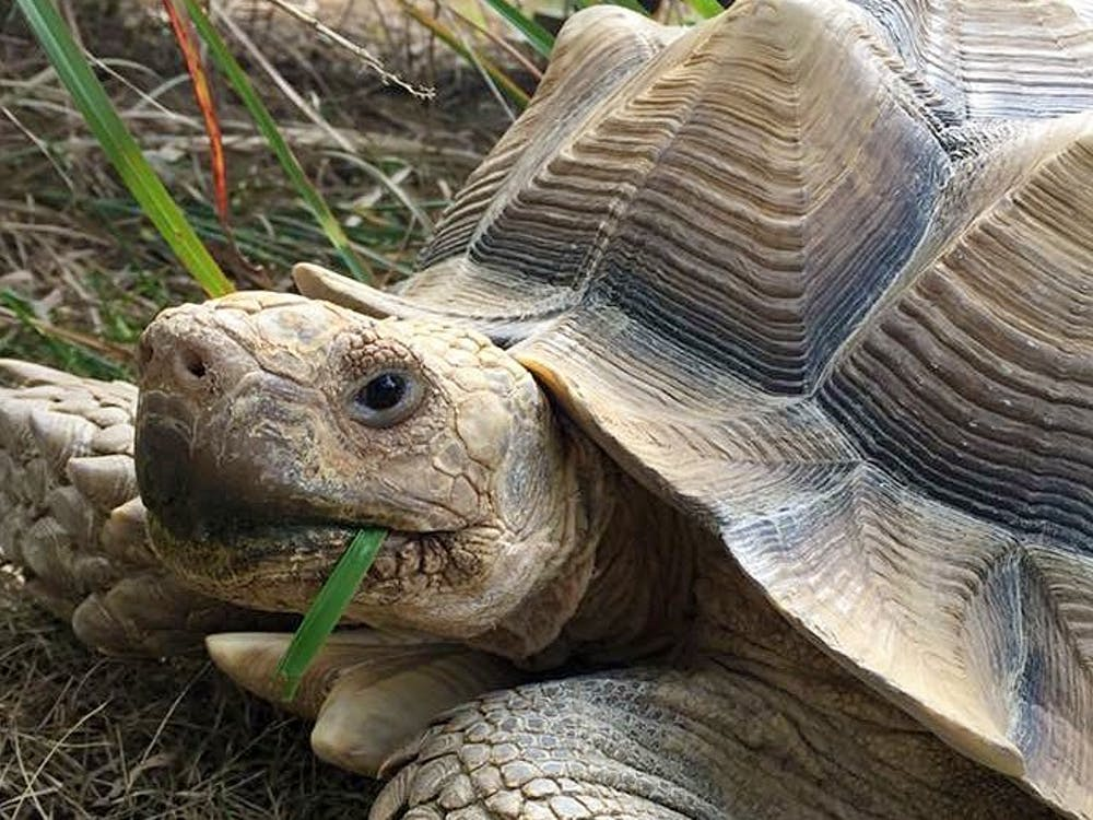 """Merlin was a 65-pound, 16-year-old African sulcata tortoise. He loved being scratched on his neck and cheek and would shake his butt when his Tasha scratched his shell. He was a """"people-person"""" tortoise."""