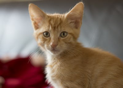 Kittens can be a handful. Eight-week old Bowie, named after the late singer David Bowie, loves to pounce and chase his owners around their apartment in Bloomington.