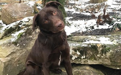 This young chocolate lab is the face of the new IUPD K-9 coming this spring. IUPD encourages the Bloomington community to help name him via their survey, which will close Friday, February 24.