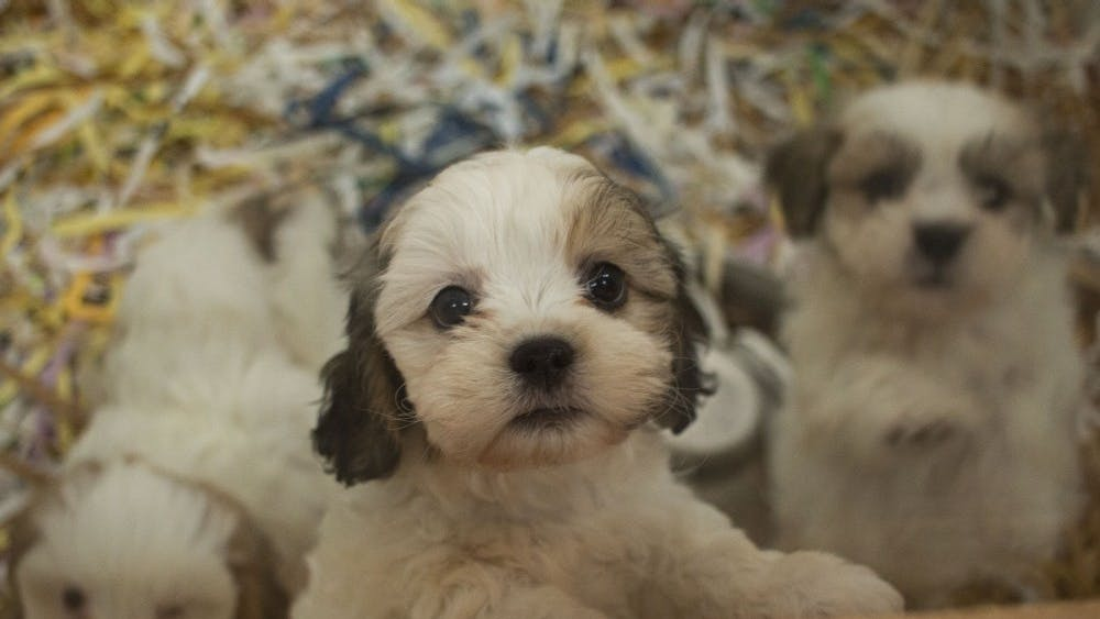 A range of puppies and cats are for sale at Delilah's Pet Shop, a local pet store in Bloomington. The Animal Control Commission introduced a policy proposal that would only allow pet stores to get their animals from shelters or rescue organizations in an effort to eliminate puppy mill usage.