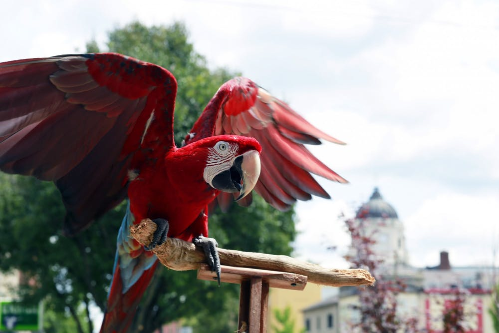 <p>Charlie Bird flaps his wings on Kirkwood in Bloomington. Charlie is known for his appearances at the Bloomington Community Farmers Market with his owner Jojo Porowski.</p>