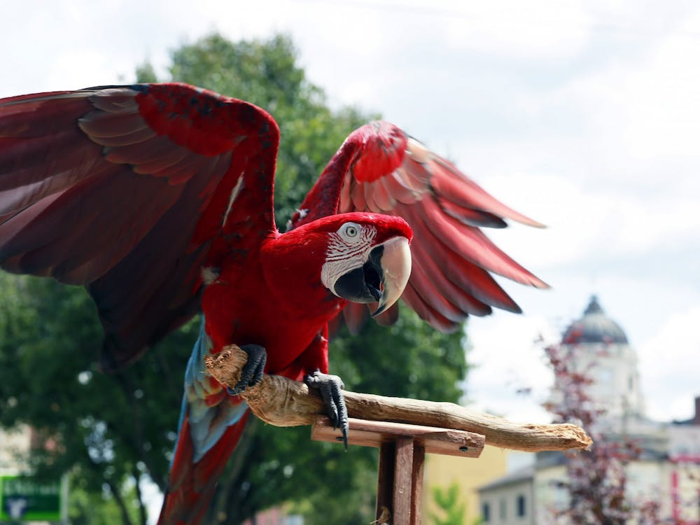 Charlie Bird flaps his wings on Kirkwood in Bloomington. Charlie is known for his appearances at the Bloomington Community Farmers Market with his owner Jojo Porowski.