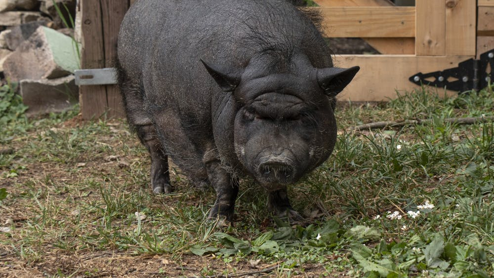 Piggy was first found by an officer after she was spotted roaming loose near Bloomington resident Cindy Chavez's home. Chavez took the pig in temporarily but eventually created a post on Facebook seeking a new home for her.