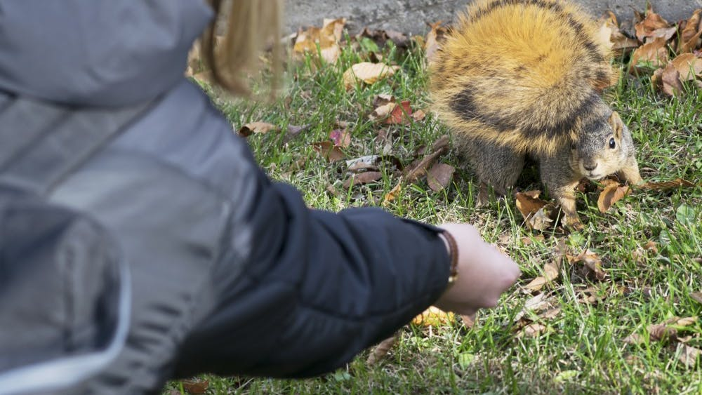 Fifth year senior Emily Jones offers a nut to Charlotte the squirrel on Saturday after finding the squirrel in Wells Quad. Squirrels are busy burying nuts this time of year in preparation for winter, Jones said.