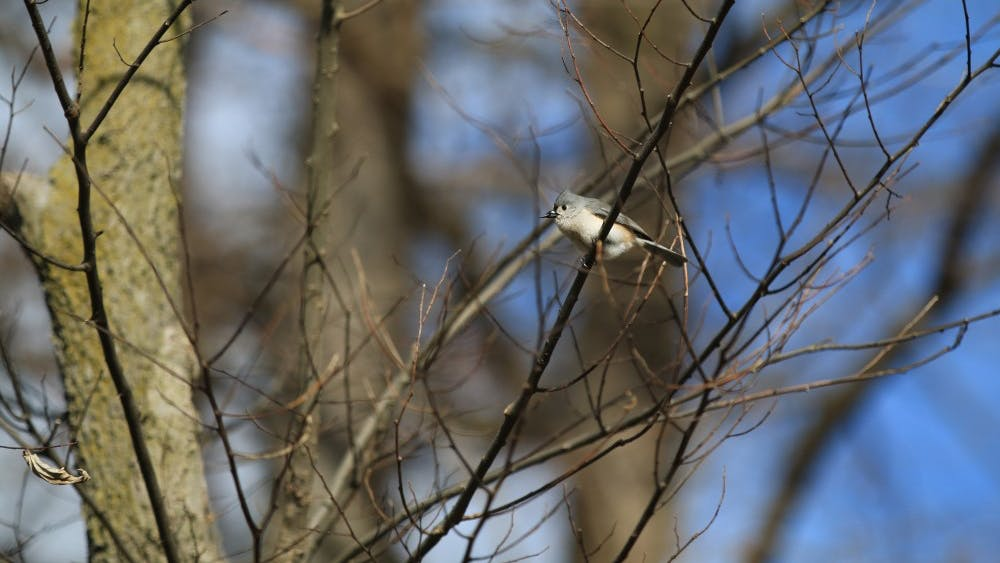 A tufted titmouse sits on a branch Jan. 29 outside Franklin Hall. Researchers are worried Indiana bird species could diminish over time because of unseasonal weather created by climate change.
