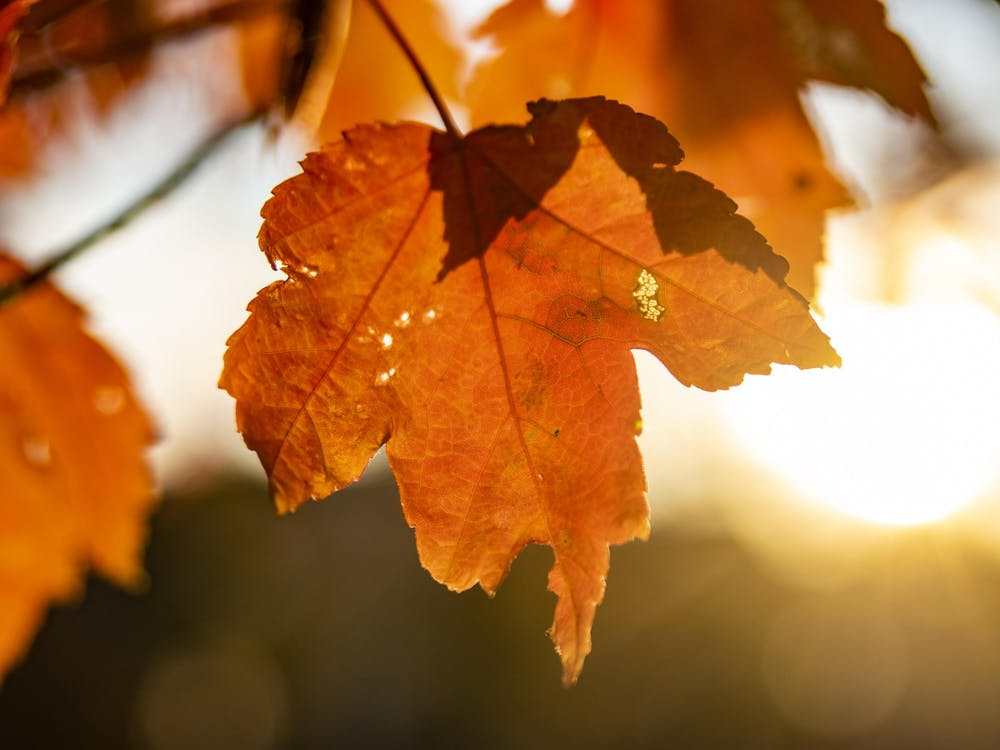 """Sun shines Oct. 10, 2020, through the leaf of a tree on Seventh Street. IU will host the virtual TEDx conference """"When A Tree Falls"""" on March 27."""