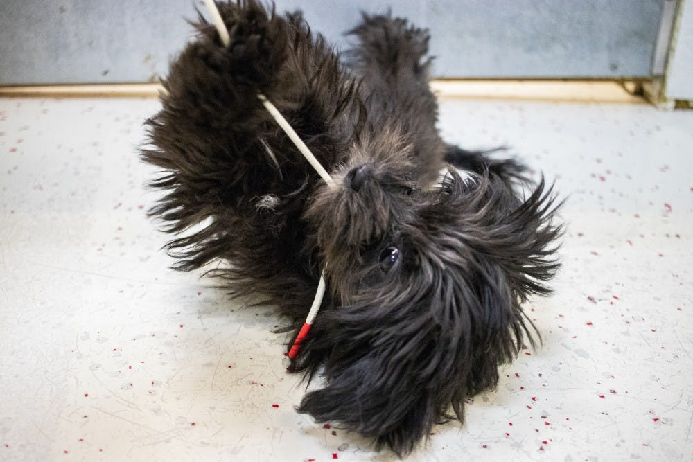 <p>A female Lhasa Poo puppy plays with a shoe string Aug. 30 in Anthony's Pets. A Lhasa Poo is a lhasa apso and poodle mix.</p>